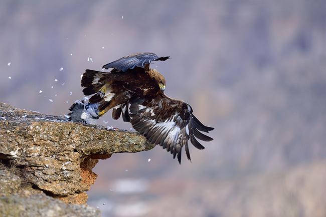 Dieta del águila real en el sur de España