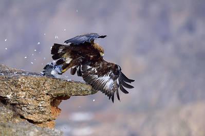 Un ejemplar subadulto de �guila real da caza a una paloma posada en el borde de un cortado (foto: Manuel Otero).