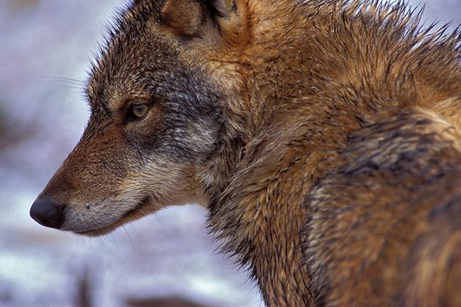 Primer plano de un lobo ibérico (foto: Jorge Sierra).
