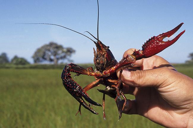 El cangrejo rojo: ¿especie protegida?