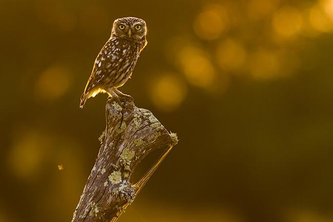 Mochuelo posado en el tronco de un árbol (foto: Yeray Seminario / Birding The Strait).