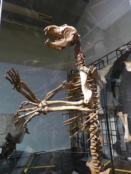 Ejemplar de oso de las cavernas recién incorporado a la sección de Paleontología del Museo Nacional de Ciencias Naturales (foto: Rafael Serra).Lora Tamayo (fotos: Rafael Serra).