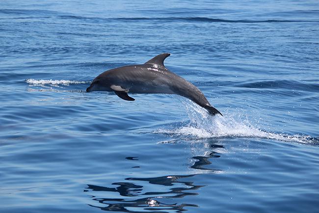 Salto de uno de los delfines mulares foto-identificados en la costa malagueña (foto: Marta González).
