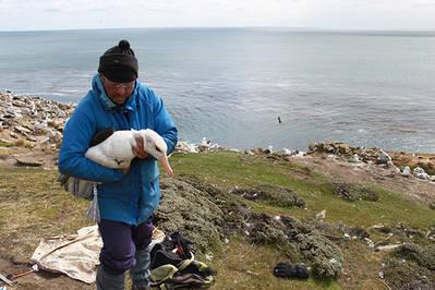 Un investigador sujeta a un albatros ojeroso adulto para marcarle con un emisor GPS (fotos: Virginia Morandini y Miguel Ferrer).