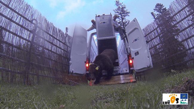 Momento de la liberación del oso Goiat en el Parc Natural del Alt Pirineu. (foto: Equipo Técnico del proyecto Piroslife).
