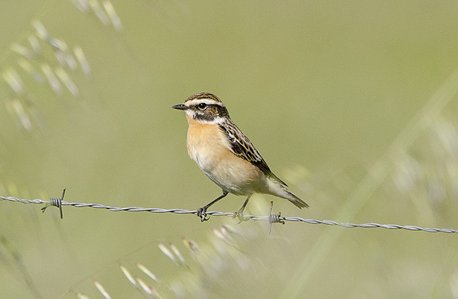 Uno de los machos de tarabilla norteña (Saxicola rubetra) encontrados en Fregenal de la Sierra (Badajoz) el pasado mes de abril.