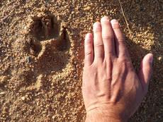Huella de lobo ib�rico junto a la mano de una persona (foto: Llobu).