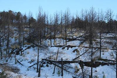 Dos a�os y medio despu�s del incendio de Lanjar�n (Granada) empezaron a caerse los �rboles quemados que no hab�an sido cortados. Al cabo de cuatro a�os no quedaba casi ninguno en pie (foto: Jorge Castro).
