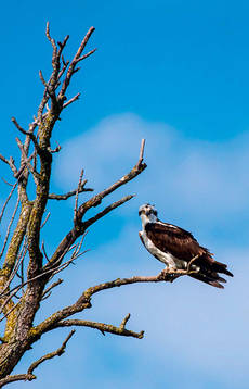 �guila pescadora en la rama de un �rbol seco (foto: FotoRequest / Shutterstock).