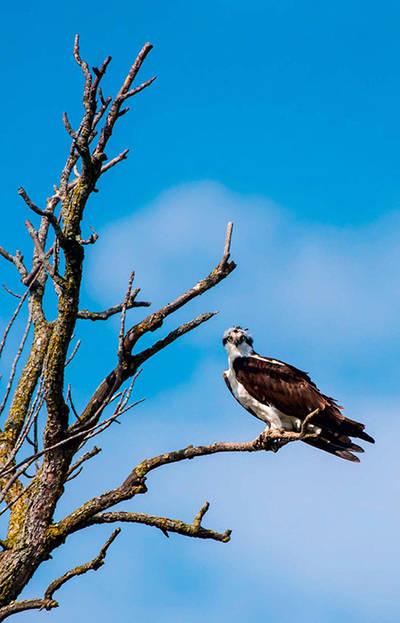 Águila pescadora en la rama de un árbol seco (foto: FotoRequest / Shutterstock).