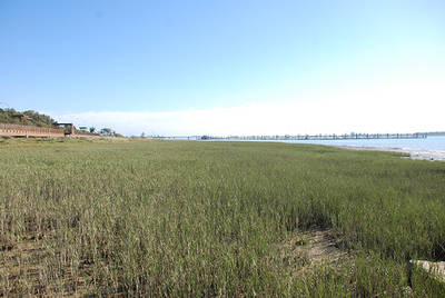 Pradera de hierba salada (Spartina maritima) en la zona de marismas portuarias restaurada en la ría del Odiel (Huelva). Foto: Guillermo Curado.