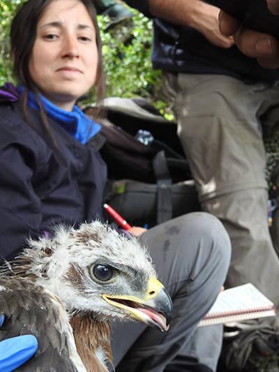 El �guila de Bonelli Gobera durante el operativo de marcaje con emisor GPS, bajo la mirada de una veterinaria de LIFE Bonelli.