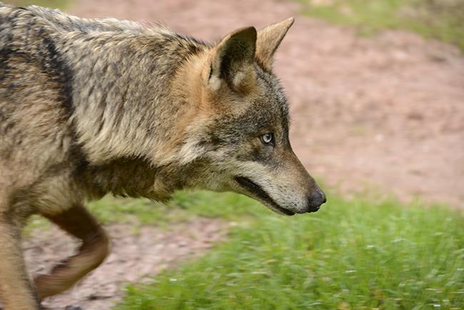 Los amigos del lobo ibérico se ven en 'Emlobados 2016'