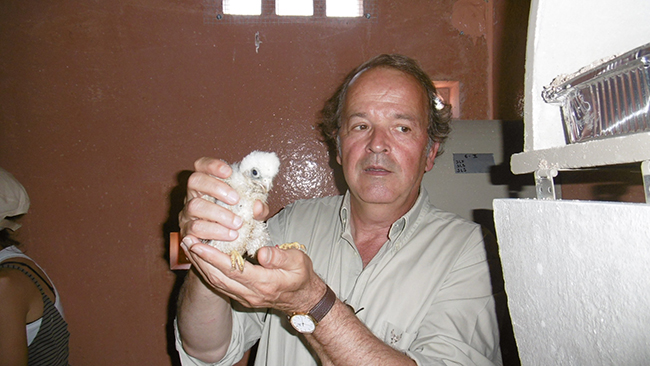 Miguel Aymerich, subdirector general de Medio Natural del Magrama, introduce un pollo de cernícalo primillar en un nidal de un primillar (foto: Grefa).