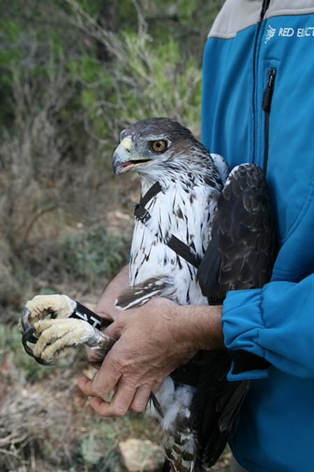 Águila perdicera adulta capturada para su marcaje con un emisor. Este ejemplar es uno de los que se ahogaron en Artana (Castellón). Foto: Pascual López.