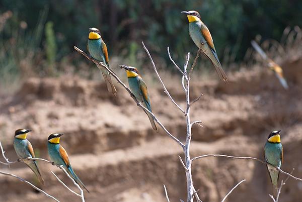 Una colonia de abejarucos de Doñana proviene de África meridional