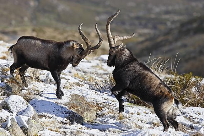 Declive y auge de las cabras monteses: una historia diferente