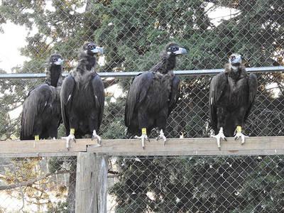 Varios de los buitres negros reintroducidos en la Sierra de la Demanda reposan en un cercado (foto: Grefa).