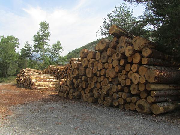 Acumulación de los troncos extraídos en la tala realizada en el abetal de Laspuña (Huesca). Foto: Federico Sancho.