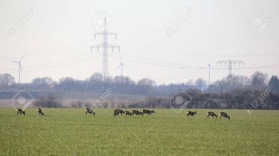 Un grupo de corzos se alimenta en un cultivo agrícola (foto: jojoo64/123RF).