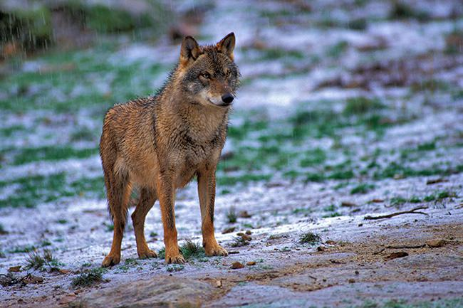 Contando lobos