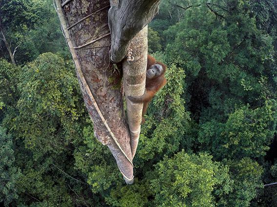 Esta fotografía de un orangután trepando, ha sido la ganadora absoluta en WPY 2016 (foto: Tim Laman).
