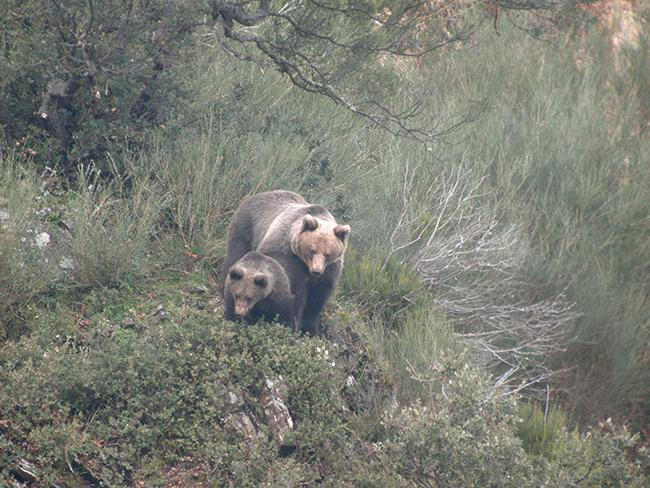 Mejoran las perspectivas del oso en el oriente cantábrico