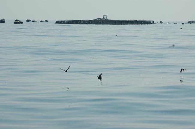 Varios paíños europeos buscan comida en el entorno de una granja marina, observable al fondo, cerca de la costa murciana (foto: Felipe Aguado).