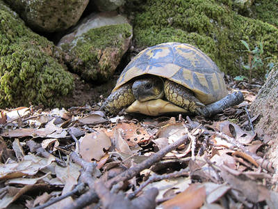 Hembra de tortuga mediterránea del noroeste de Menorca (foto: Albert Bertolero).