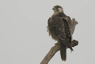 Hembra juvenil de halcón peregrino de origen nórdico (foto: Víctor Estrada).