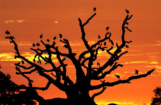 SOS Doñana: conservación sesgada y ocaso del alcornocal centenario