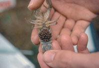 La genética del cangrejo de río en España