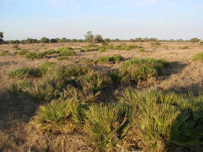 Palmitos en la parcela de Matasgordas (Doñana) antes del incendio (foto: autores).