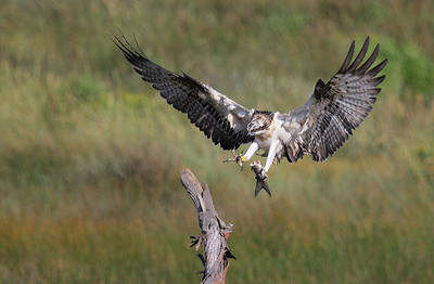 Una de las águilas pescadoras liberadas en 2016 en Urdaibai se dispone a posarse, mientras acarrea un pez medio devorado (foto: Urdaibai Bird Center)