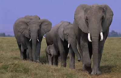 Manada de elefantes de sabana (foto: WWF / Martin Harvey).