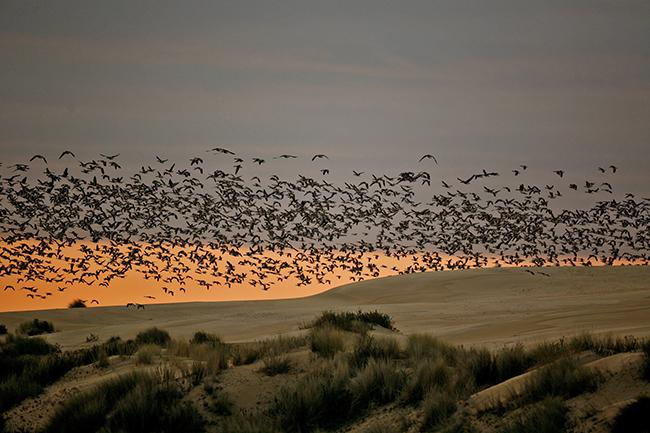 Un grupo de gansos sobrevuela el Cerro de los Ánsares, en el Parque Nacional de Doñana (foto: J. M. Pérez de Ayala / SEO BirdLife).
