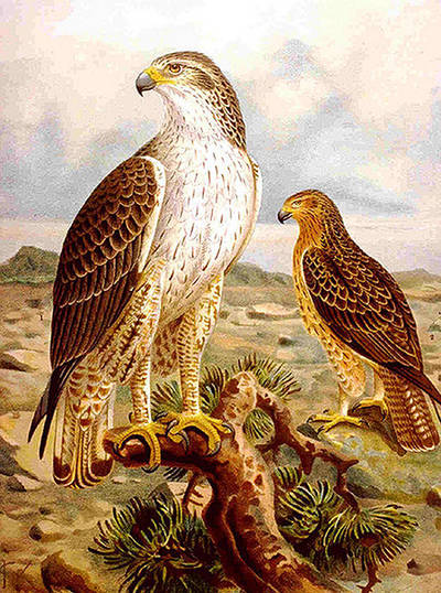 Lámina con pareja de águila perdicera.