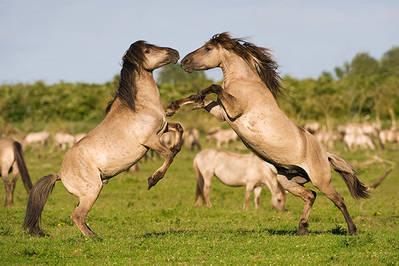 Lucha de machos de konik, una de las razas de caballos salvajes con las que trabaja Rewilding Europe (foto: Mark Hamblin / Wild Wonders of Europe).