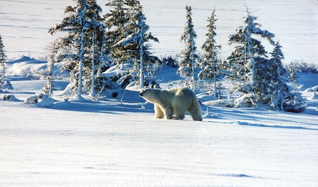 Oso polar en la zona de Churchill, al norte de Canadá (foto: Brocken Inaglory / Wikicommons).