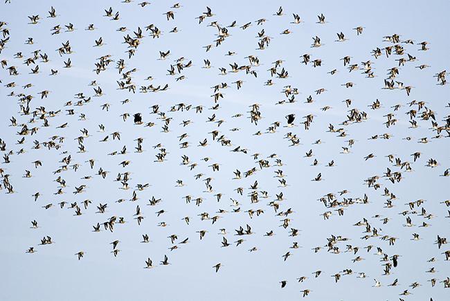 Bando formado por varios cientos de agujas colinegras en los arrozales de las Vegas Altas del Guadiana, donde se llegan a concentrar más de 24.000 ejemplares de esta especie durante el periodo migratorio (foto:. Domingo Rivera).