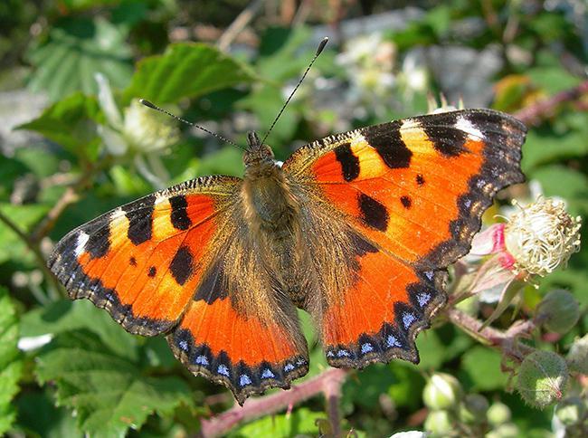 Ejemplar de ortiguera (Aglais urticae), una de las mariposas más escasas en el Hayedo de Montejo (foto: Alberto Hurtado).