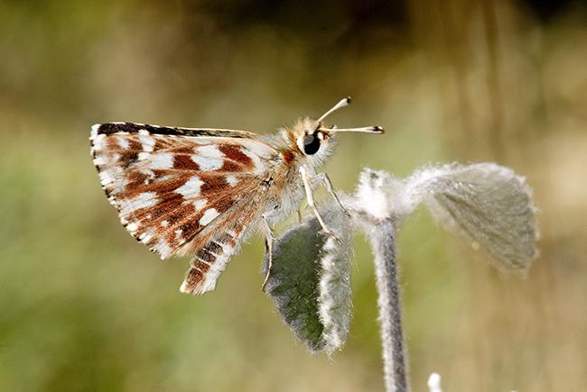 Descrita una nueva especie de mariposa: el sertorio de los rosales