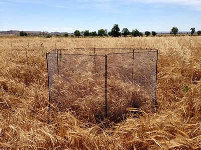 Este vallado metálico hexagonal protege un nido de aguilucho cenizo en un campo de cebada del sur de la provincia de lleida (foto: Jaume Balsells).