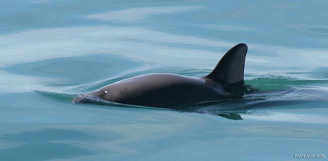 Empieza la cuenta atrás para el fin del cetáceo más amenazado