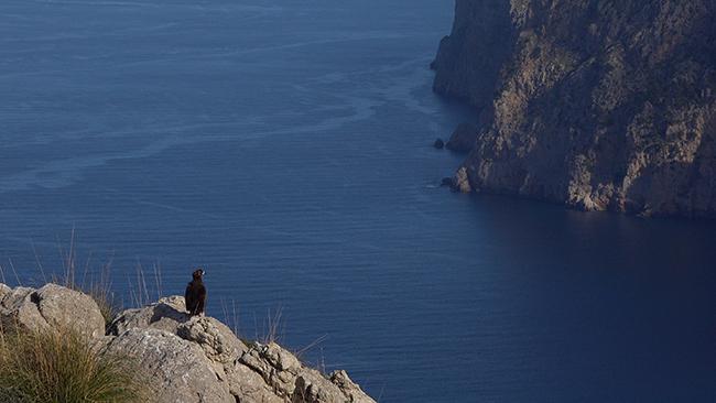 Buitre negro posado junto al mar, en lo alto de un acantilado de la sierra de tramuntana (Mallorca). Foto: Rubén Casas.