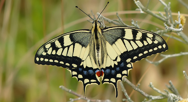 Ejemplar de macaón (Papilio macaon). Foto: Yeray Monasterio.