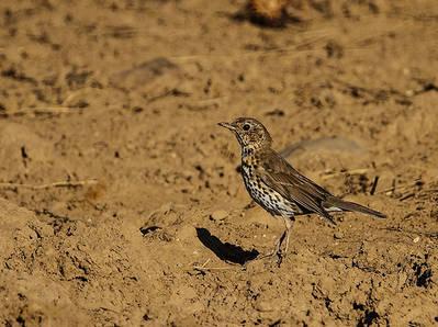 Zorzal común, una de las especies más afectadas por la caza con liga (parany) en la Comunidad Valenciana (foto: Ángel Sánchez).