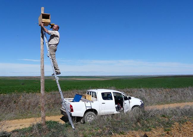 Un naturalista instala un nidal para lechuza común (foto: Grefa).