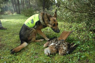 Un perro adiestrado olfatea el cadáver de un milano real (foto: Junta de Andalucía).