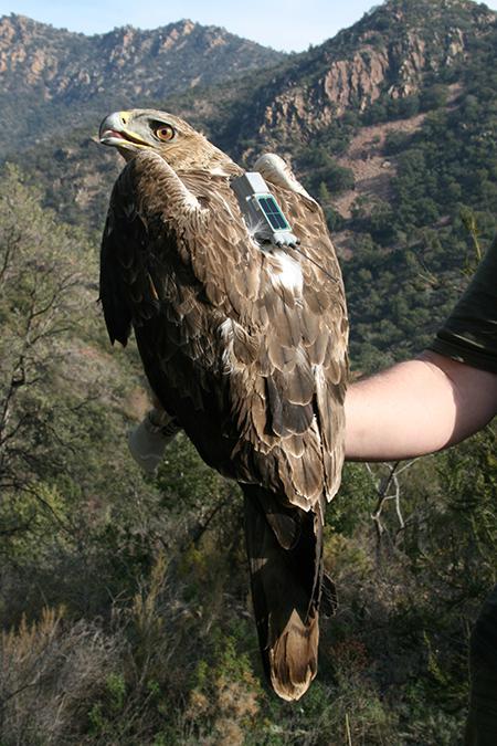 Macho subadulto de águila perdicera de la provincia de Castellón, equipado con un emisor GPS (foto: Pascual López).